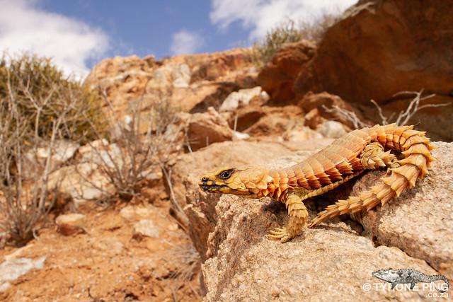 Ouroborus cataphractus - Armadillo Lizard.