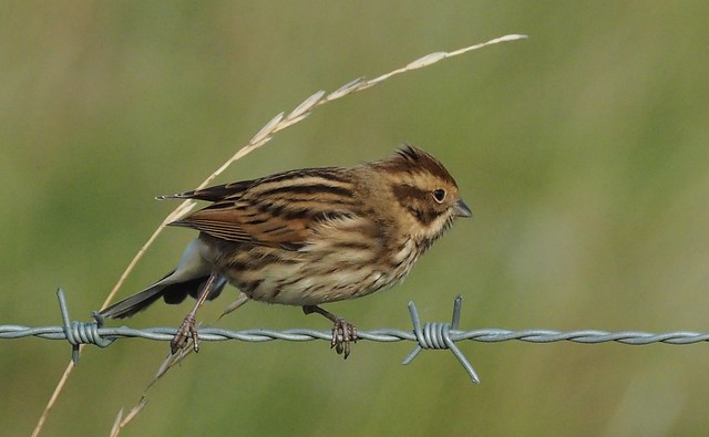Reed Bunting. 10/10/2019