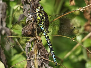 Southern Hawker Dragonfly 2