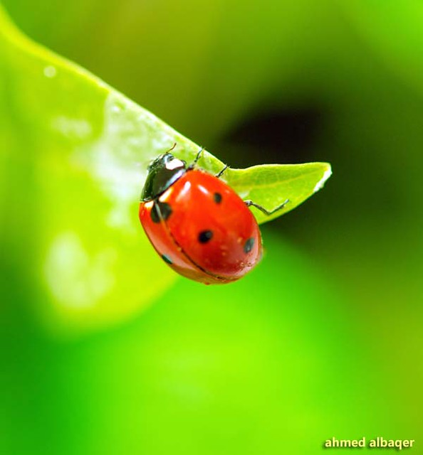 Lady beetle ( Lady bug ) .. الدعسـوقة ، الخنفساء المنقطـة