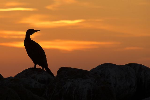 Kormoran im Abendrot - Cormorant in the sunset
