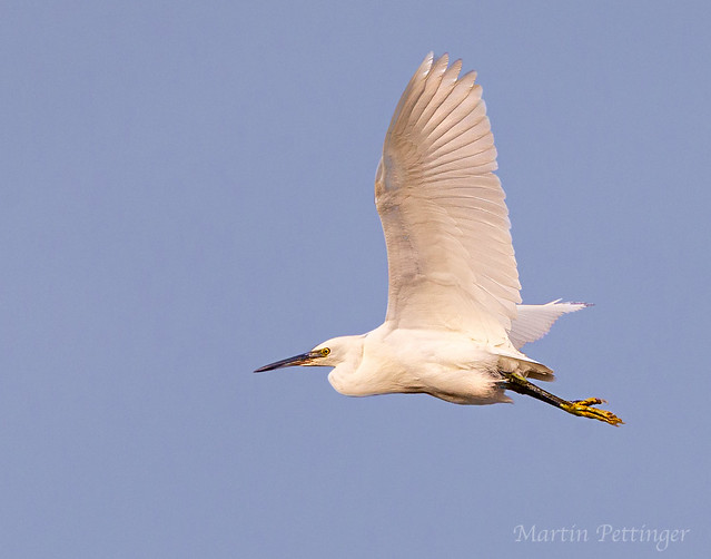 Little Egret -3445