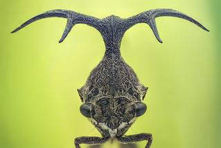 Treehopper in Ba Vi national park Vietnam