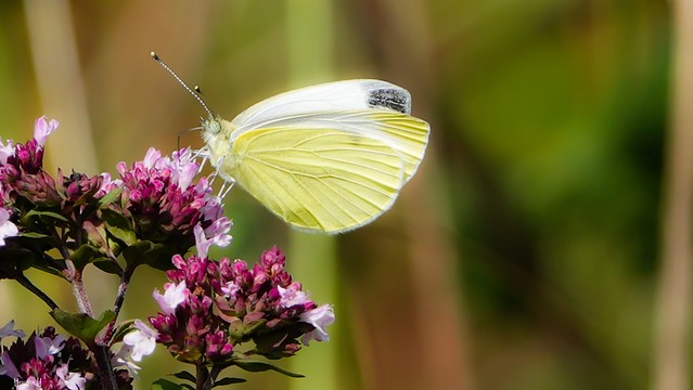 Butterfly - 7561