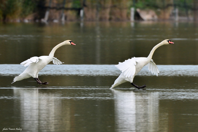 Lac des Cygnes - Swan Lake