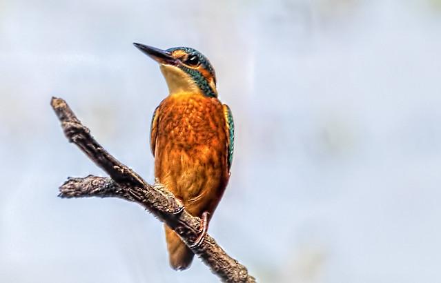 Kingfisher at Tittesworth Reservoir.