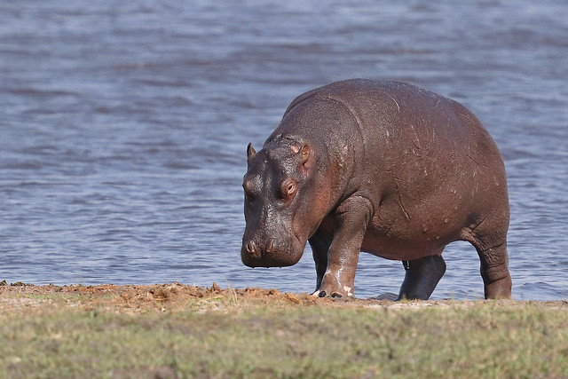 Hippo coming out of the water