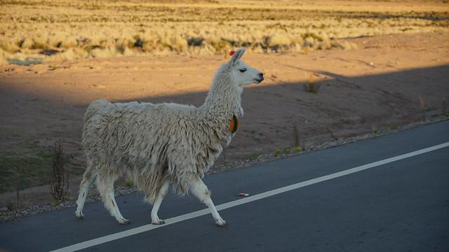 The proud lama