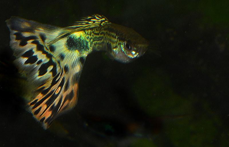 Guppy Cobra Fantasia -  (Poecilia reticulata)