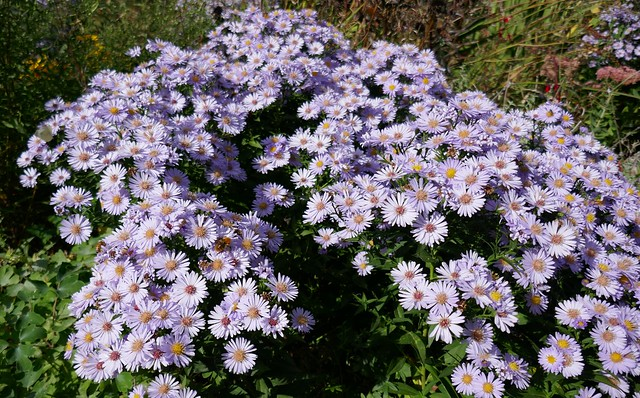 Au jardin, aster amelle ou marguerites de la saint-Michel (aster amellus), Bosdarros, Béarn, Pyrénées Atlantiques, Nouvelle-Aquitaine, France.