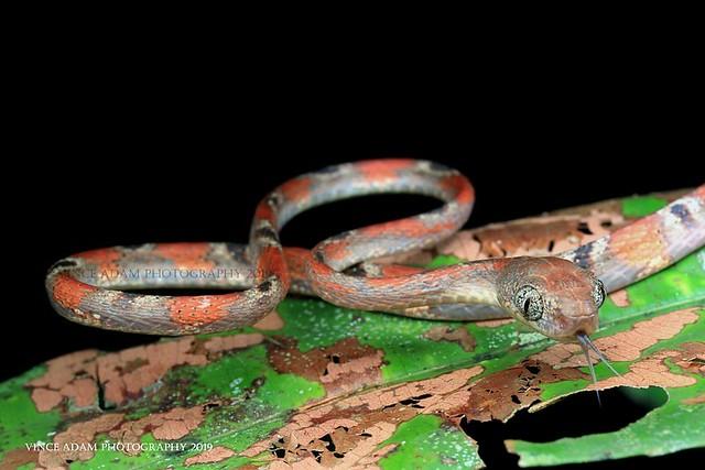 IMG_7003-01(W) Baby White Spotted Cat Snake (Boiga drapiezii)