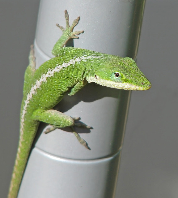 Green anole sneaking into my flowers