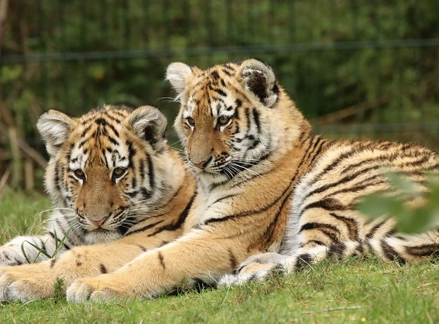 Siberian tiger babies in zoo Netherlands