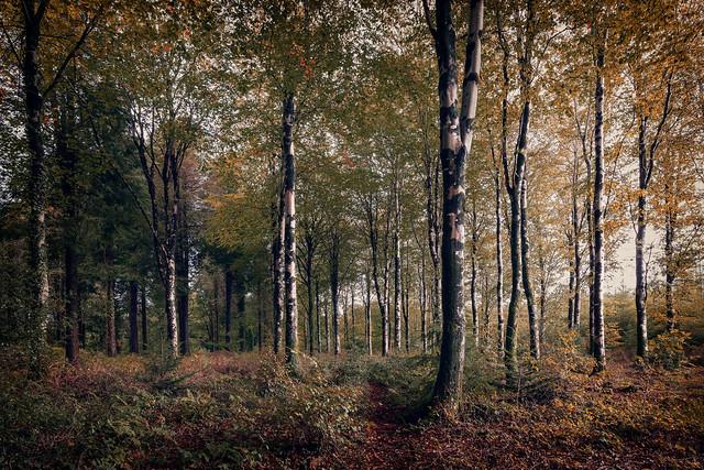 Autumn Beech Trees Ladock