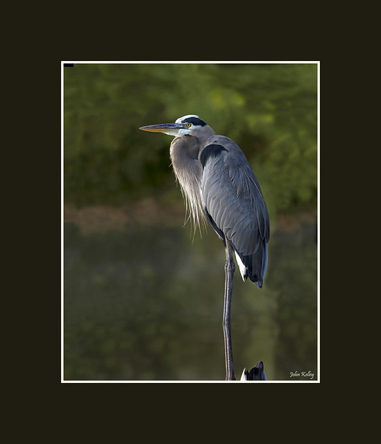 The Great blue heron, Ardea herodias