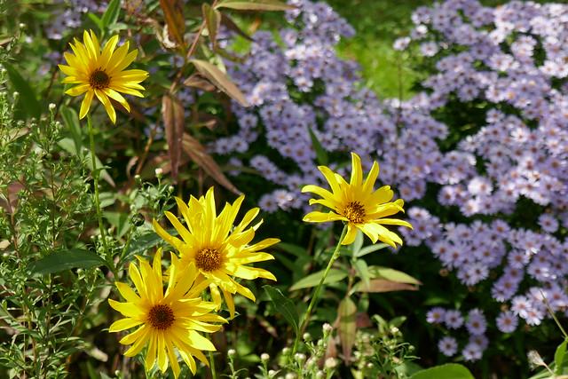 Au jardin, topinambours et asters, Bosdarros, Béarn, Pyrénées Atlantiques, Nouvelle-Aquitaine, France.