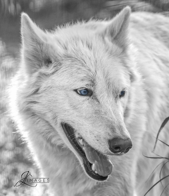 White Wolf w/ Blue Eyes in B/W