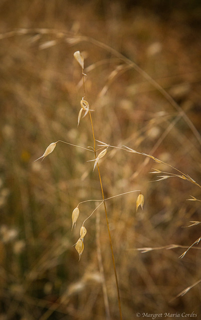 Fall grasses and maple leaves