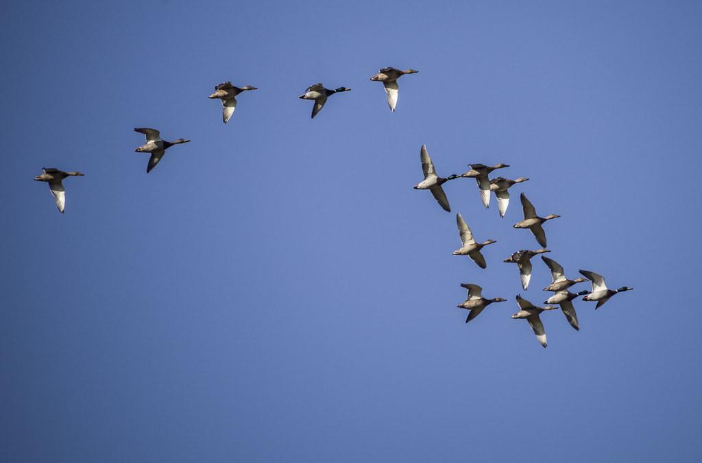 Летят утки.