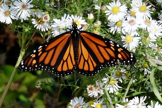 Monarch Butterfly, Pelee Island, Canada