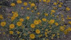 Desert Marigolds on the Dog Canyon Trail