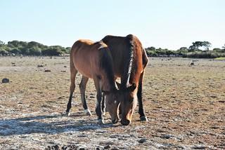 Wild horses in the Giara di Gesturi, Sardinia - Caballos salvajes en la Giara di Gesturi, Cerdeña