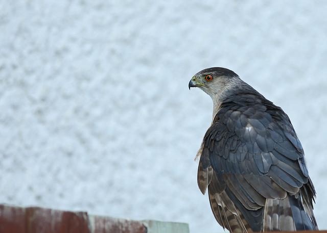 Cooper's Hawk...#3