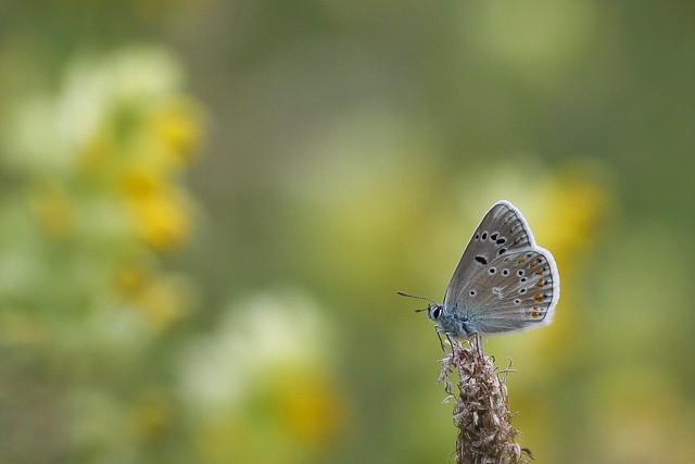 Azuré sur fond de grandes gentianes (parc de la Vanoise, juillet 2019)