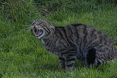 Scottish Wildcat Oct 2019