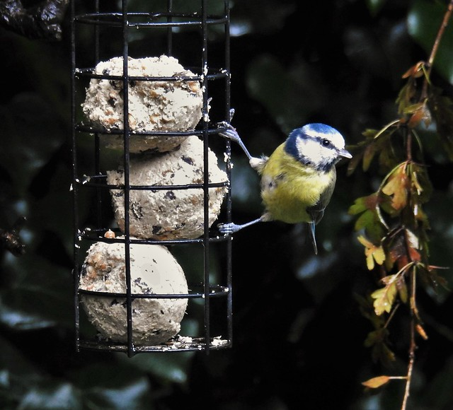 Blue-Tit and Fat Ball Trio ..