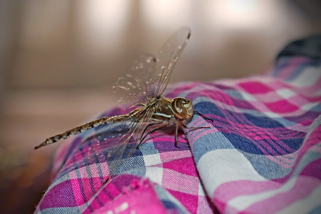 Dragonfly at home.