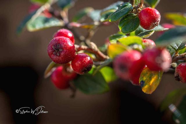 SJ2_2856 - Autumn berries