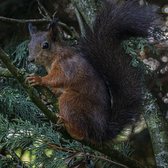 Red Squirrel Oct 2019  0002