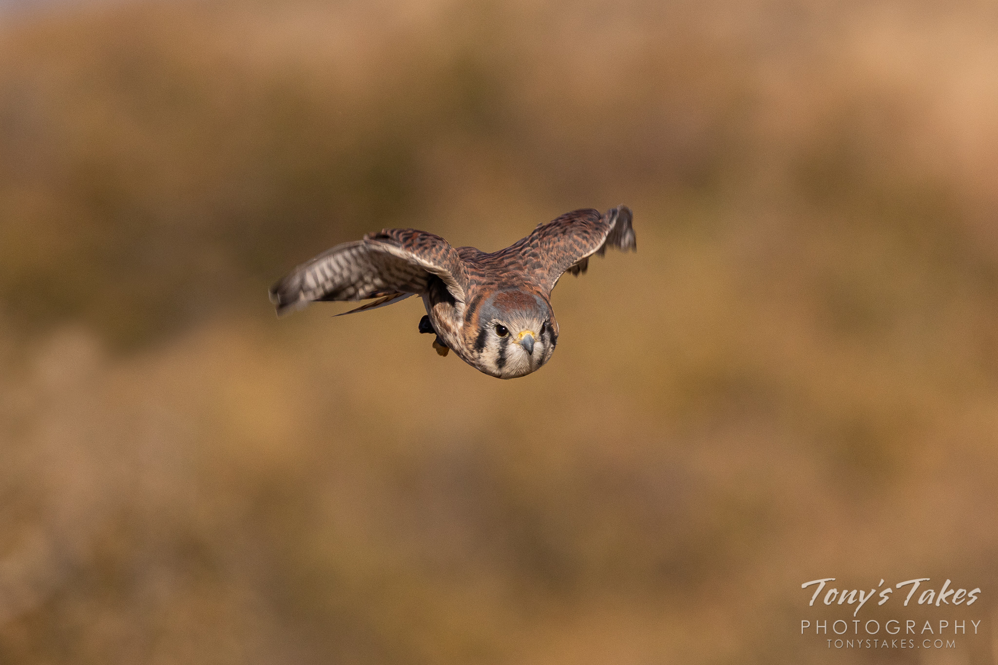 A female American kestrel (captive) in flight. (© Tony's Takes)