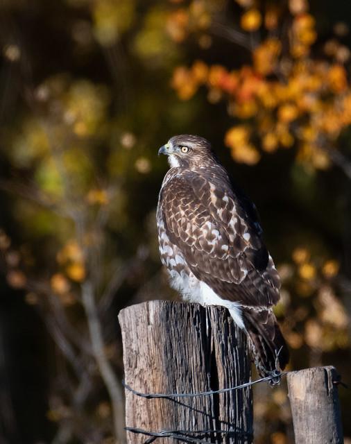 Red-Tail Hawk