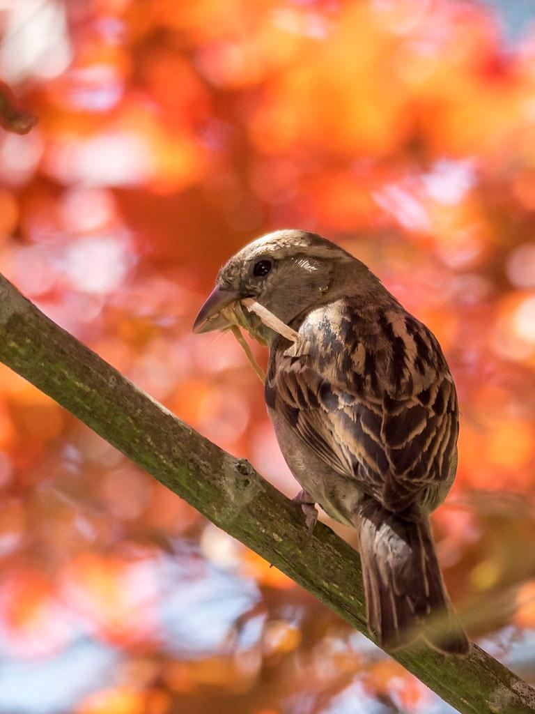 Autumn sparrow