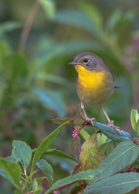 Common Yellow-throat (1st yr. male)