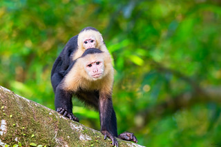 White-Throated Capuchin