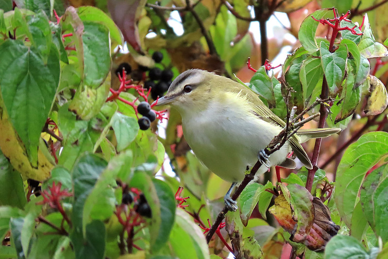 Red-eyed Vireo - Vireo olivaceus