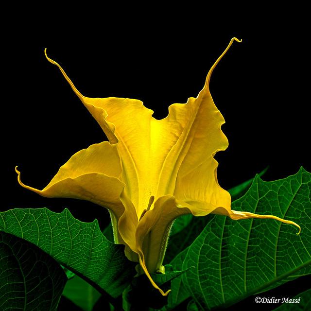 Fleur de brugmansia (1)