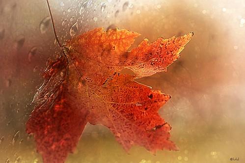 Autumn's Leaf