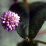 La flor i la fulla
