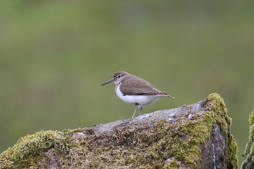 Common Sandpiper (Actitis hypoleucos), Loch Spelve, Isle of Mull. 28th May 2009. IMG_3781