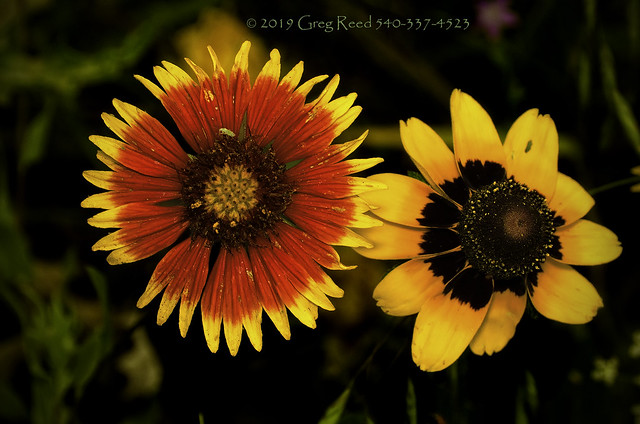 Indian Blanket & Clasping Coneflower