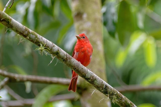 Tangara vermillon...Costa Rica