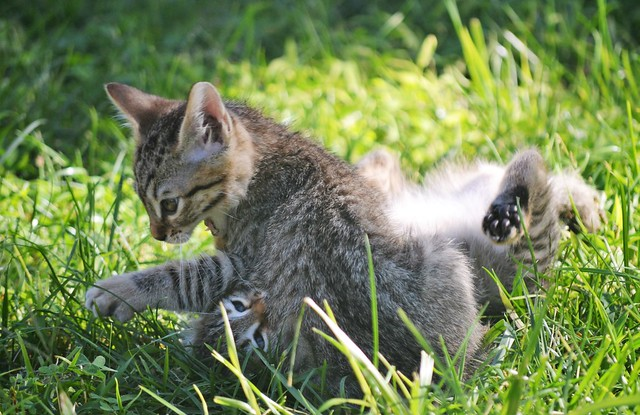 Kittens playing - Sardinia