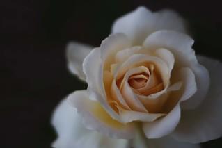 Souvenirs d'une rose ...