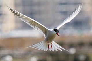 025 Common Tern