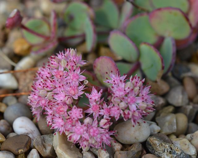 Hylotelephium sieboldii (October or Siebold's Stonecrop)