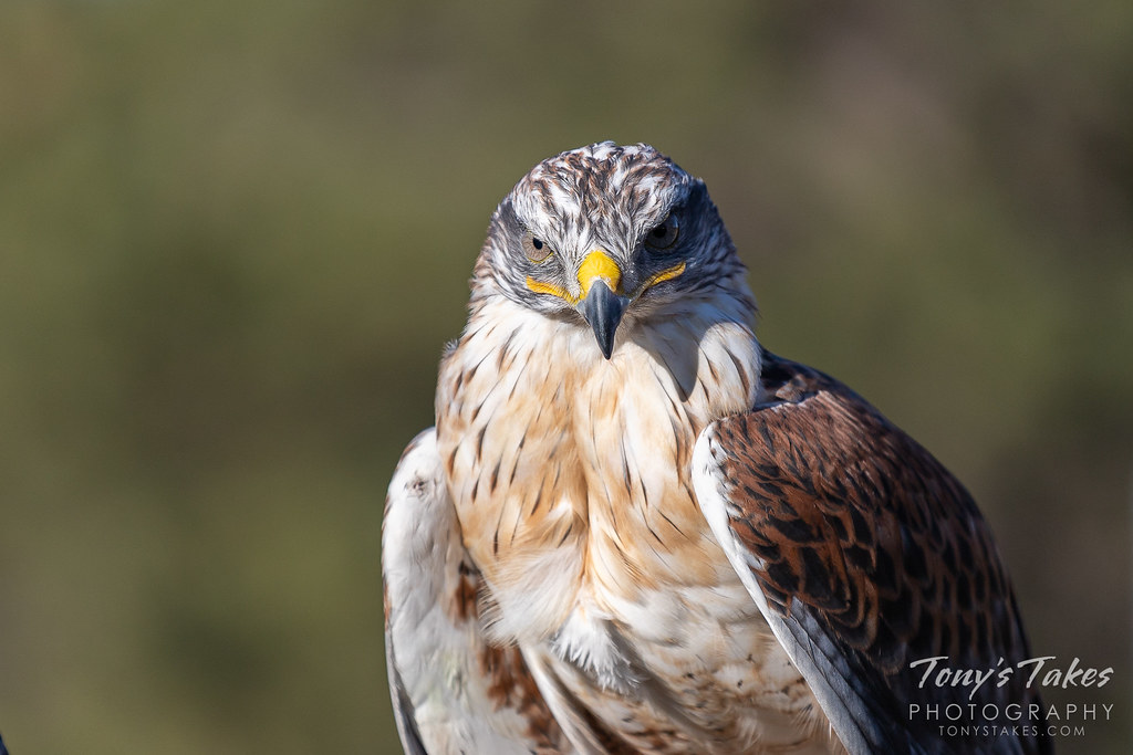 Ferruginous hawk gives a deadly serious gaze